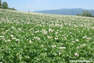 Campo di patate in località Spineto