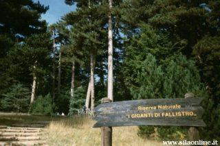 I Giganti della Sila nella Riserva Naturale del Fallistro
