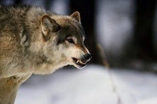 Il lupo è l'emblema dell'Altopiano Silano