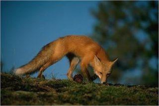 La volpe è diffusa sull'Altopiano