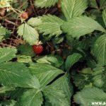 Lamponi e fragoline selvatiche crescono spontaneamente in Sila